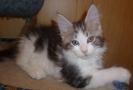 котенок мейн кун Бедфорд 9 недель