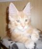 котенок мейн кун Бенц 9 нед