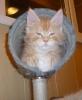 котенок Бенц 9 недель