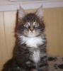 котенок Блекджек-9