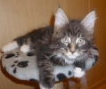 котенок мейн кун Блекджек 9 нед