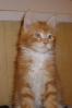 котенок мейн кун Богдан 9 недель